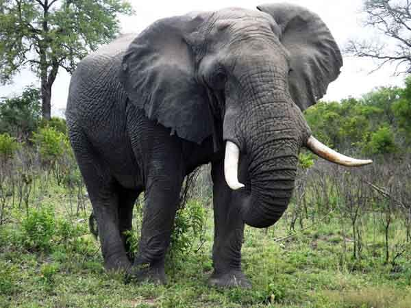 www.elephantplains.co_.za-Big-elephant-bull