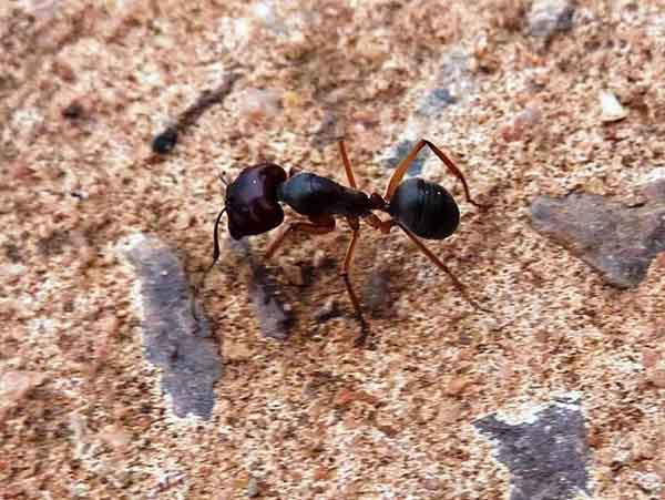 www.myrmecos.net-Big-Ant-Outside-House
