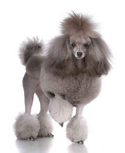 french-poodles-didn-and-39-t-come-from-france-photo-u1