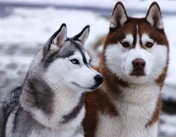 siberian-huskies-have-higher-endurance-than-any-other-breed-photo-u1