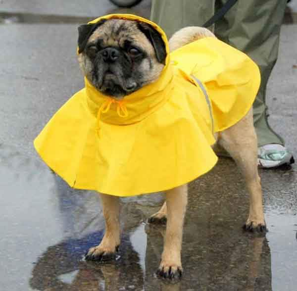 the-sound-of-rain-hurts-dogs-ears-photo-u1