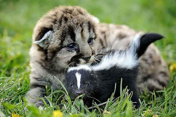 unusual-animal-friends-lion-cub-baby-skunk__700