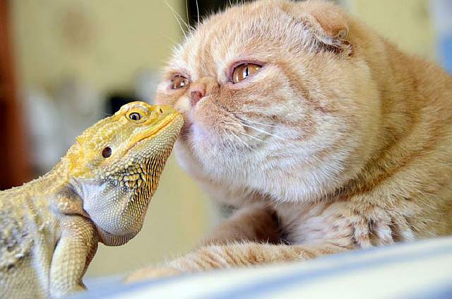 unusual-animal-friendship-cat-iguana__700