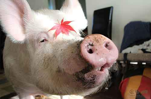 esther-wonder-pig-sanctuary-steve-derek-19
