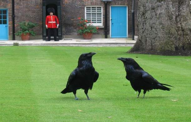 Ravens-of-the-Tower-of-London-610x390