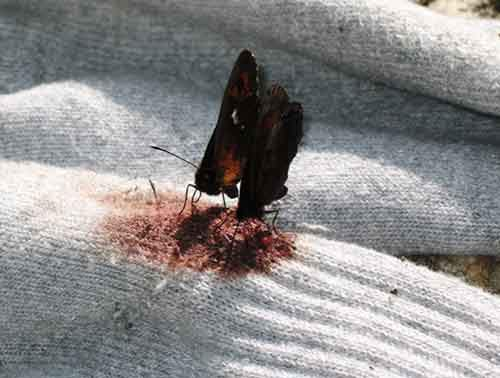 en.wikipedia.org-Blood_feeding_butterflies_5362
