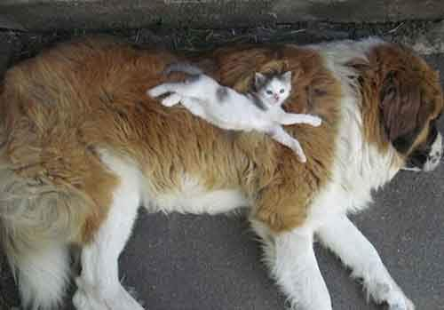 cute-cats-sleeping-on-dogs-4__605