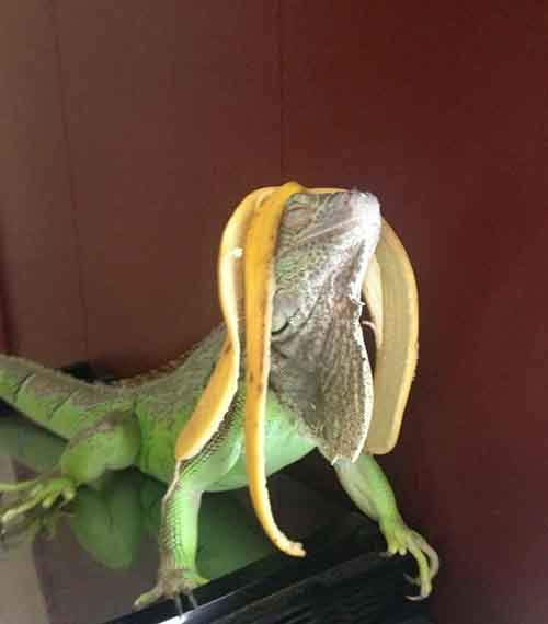 lizard-looking-fabulous_banana