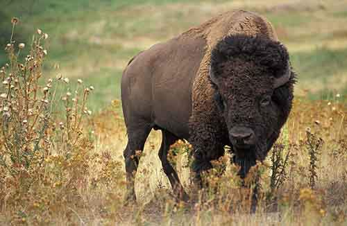 800px-American_bison_k5680-1