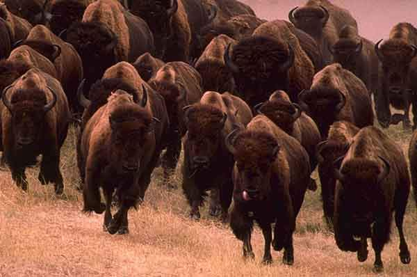 European-Wildlife-American-Bison-Hybrididisation-Risk