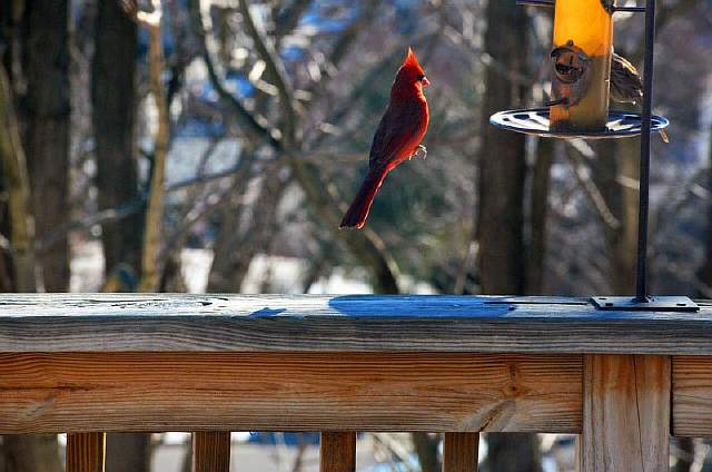 levitating-cardinal-floating-bird-perfect-timing