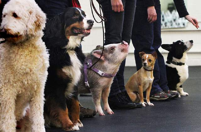 pig-in-line-up-of-dogs-at-obedience-school