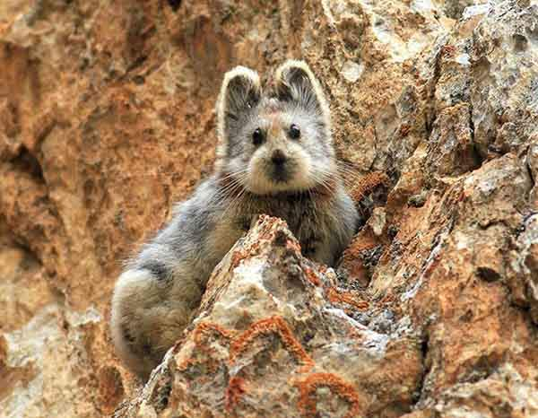 rare-endangered-animal-teddy-bear-magic-rabbit-ili-pika-china-coverimage