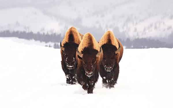 three-bison-buffalo-walking-on-snow