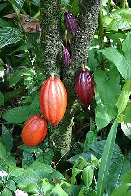 cacao-tree-with-fruit-pods