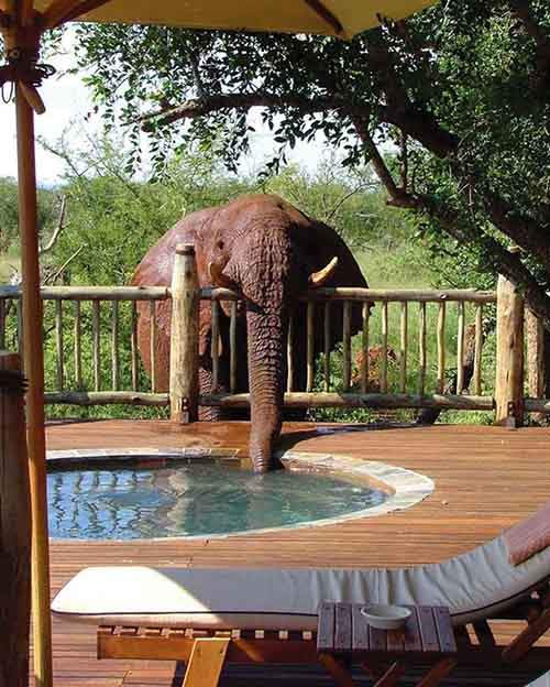 elephant-drinking-from-pool