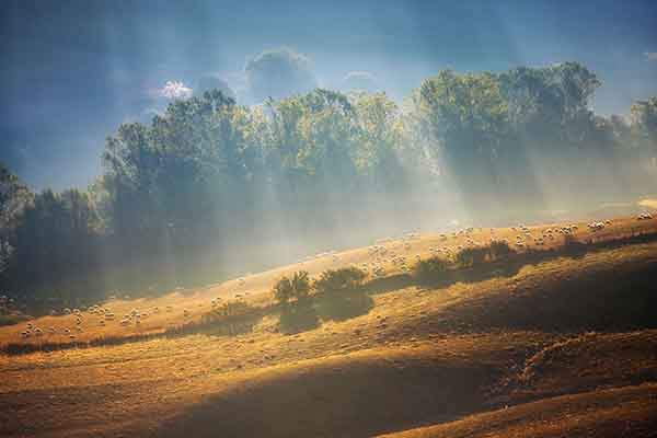 Sheeps-in-rays-950__880