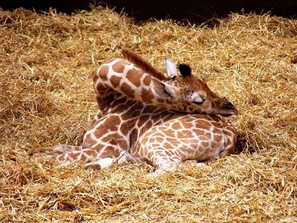 sleeping-giraffe-1__880