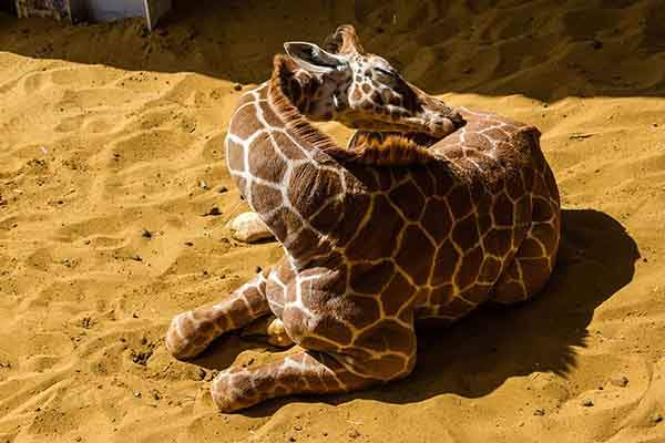 sleeping-giraffes-10__880