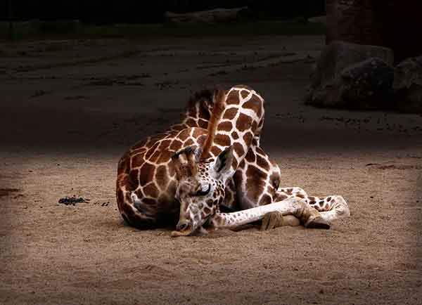 sleeping-giraffes-6__880