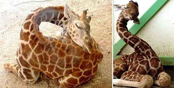 sleeping-giraffes-9__880