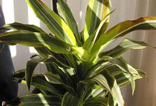 body_warneckdracaena