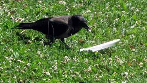 crow-cleans-garbage-1