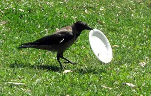 crow-cleans-garbage-3