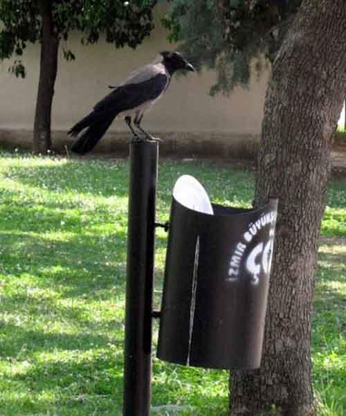 crow-cleans-garbage-5