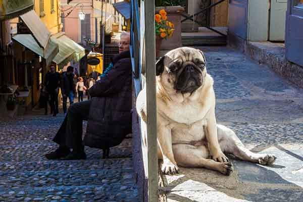 pug-life-bellagio-lake-como-italy