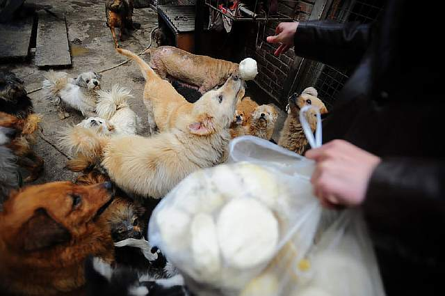 rescued-dogs-yulin-dog-meat-festival-china-14