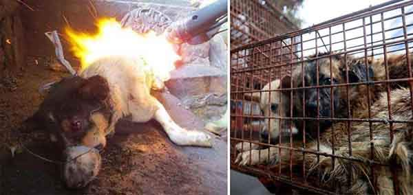 rescued-dogs-yulin-dog-meat-festival-china-25