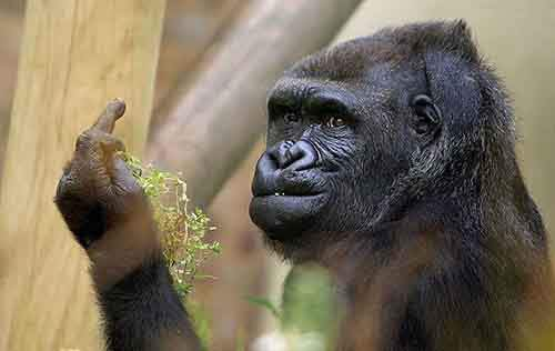 gorilla-middle-finger-bob-pitchford-bristol-zoo-coverimage