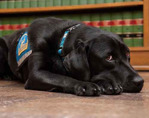 courthouse-dogs-calm-witness-victim-ellen-oneill-celeste-walsen-26