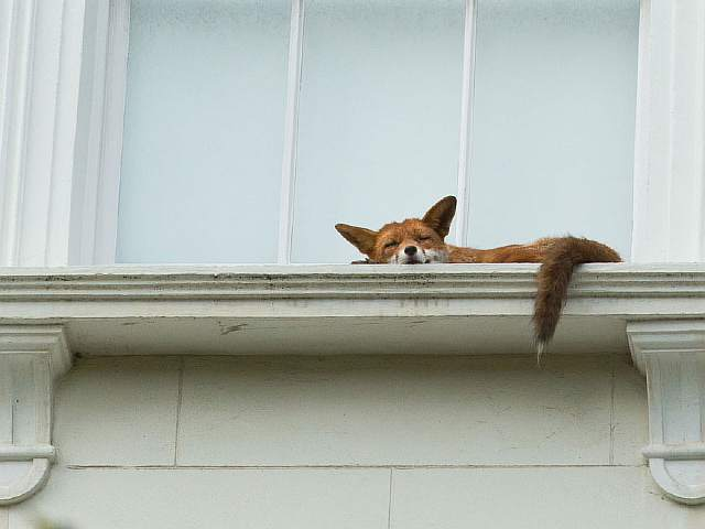 sleeping-fox-window-ledge-notting-hill-2