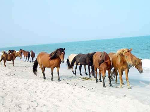 at-the-assateague-island-national-seashore-in-maryland-and-virginia-wild-horses-roam-freely-along-the-white-sand-beaches