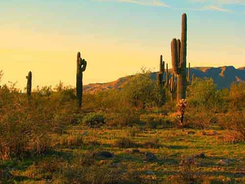 north-americas-largest-cacti-can-be-found-in-saguaro-national-park-arizona-which-was-established-to-protect-the-plants-habitat