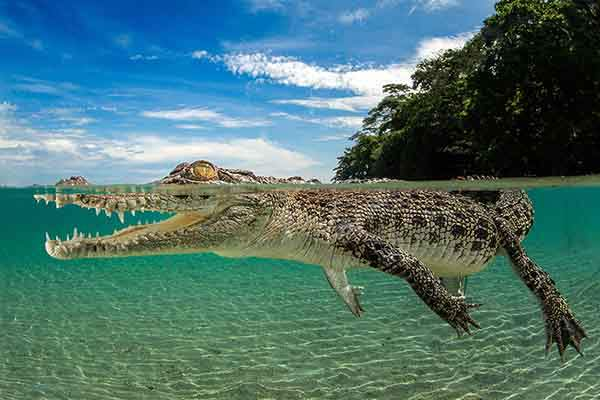 third-prize-saltwater-crocodile-by-justin-gilligan-