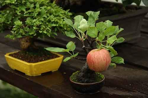 Bonsai apple tree growing a full sized apple
