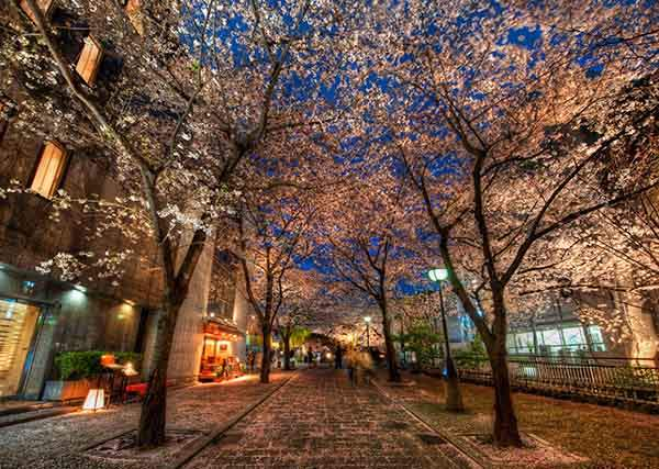 Walking through the cherry blossoms-X2