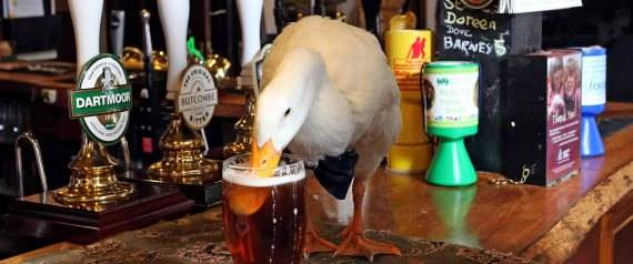 "Star the duck who has seemingly been injured in a pub brawl. See SWNS story SWDUCK; A Devon duck who received worldwide fame for his drinking exploits has suffered serious injuries after a near-death encounter with a dog. Star Hayman and his handler Barrie Hayman are well known across the county. On Sunday Star had a run in with a dog and came away from the altercation with his bottom beak split down the middle. The owners of the dog, Meggie, posted on Facebook Star had ""pushed his luck too far."""