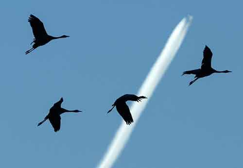 Migrating cranes fly in front of a plane near Straussfurt, central Germany, Sunday, Nov. 1, 2015. The cranes rest in central Germany on their way from breeding places in the north to their wintering grounds in the south. (AP Photo/Jens Meyer)