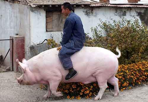 "Farmer Zhang Xianping rides his pig ""Big Precious"" during an interview with the media, in Zhangjiakou, Hebei province, China, November 2, 2015. Zhang, a pig breeder, instead of killing it, decided to keep the two-year-old ""Big Precious"" as pet when its weight reached 600 kg, according to local media. Picture taken November 2, 2015. REUTERS/Stringer CHINA OUT. NO COMMERCIAL OR EDITORIAL SALES IN CHINA TPX IMAGES OF THE DAY - RTX1UJ6U"