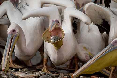 Great White Pelicans eat fish in the Mishmar HaSharon reservoir, Israel, Wednesday, Nov. 4, 2015. Thousands of Pelicans stop in the reservoir for food provided by the Israeli nature reserves authority as they make their way to Africa. (AP Photo/Ariel Schalit)