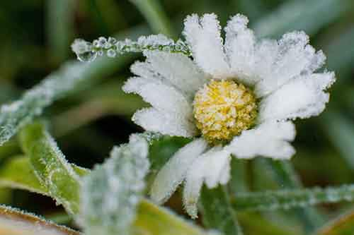 A daisy is covered in frost on November 3, 2015 in Sehnde near Hanover, central Germany. AFP PHOTO / DPA / JULIAN STRATENSCHULTE +++ GERMANY OUT +++ (Photo credit should read JULIAN STRATENSCHULTE/AFP/Getty Images)