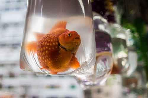 A large goldfish is displayed in a bag at a street stall of the Mong Kok Goldfish Market in Hong Kong on November 1, 2015. Goldfish are particularly important within the practice of 'Fung Shui', the ancient Chinese system to bring harmony to a house, creating a high demand for the fish amongst the superstitious as well as local aquarists. AFP PHOTO / ANTHONY WALLACE (Photo credit should read ANTHONY WALLACE/AFP/Getty Images)