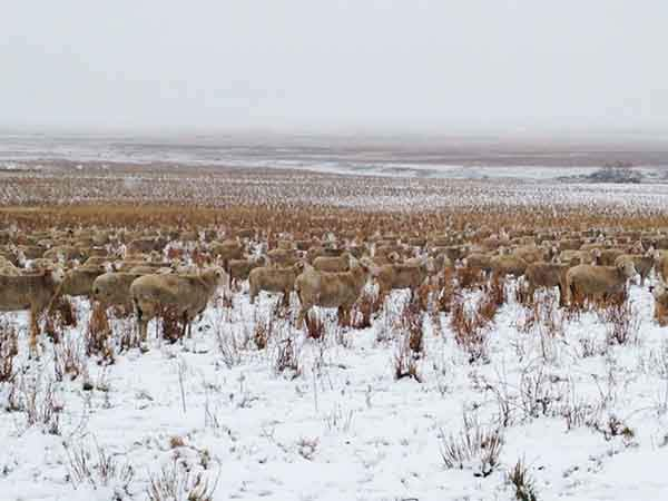 sheep-camouflaged-field-pilgrim-farms-liezel-kennedy-41