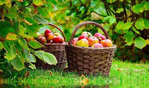 Basket-full-of-apples