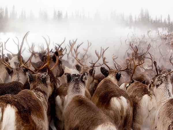 Reindeer migrating to mountains for spring calving season.