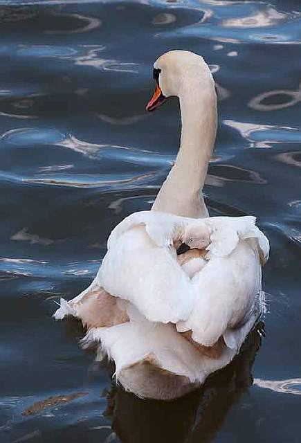 cute-bird-parents-341__700